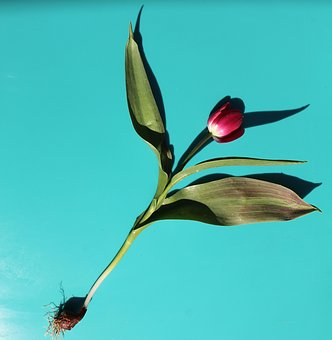 Tulip, Flower, Stem, Leaves, Header, Plant, Spring