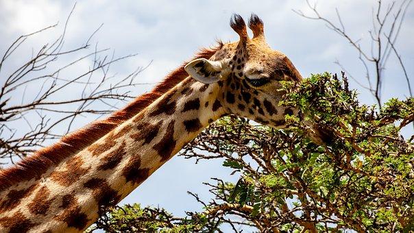 Giraffe, Tree, Kenya, Head, Eat, Nature, Africa, Animal