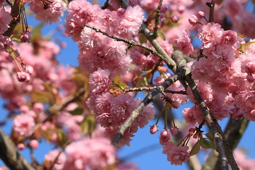 Prunus, Blossom, Bloom, Pink, Tree
