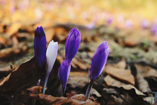 Crocus, Flower, Purple, Spring, Bloom, Nature, Violet