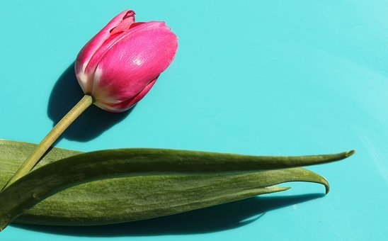 Tulip, Flower, Stem, Leaves, Wallpaper, Backdrop