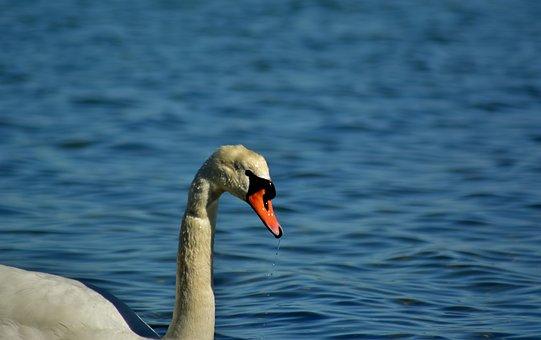 Swan, Baltic Sea, Nature, Water Bird, Rügen, Diving
