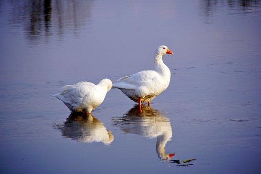 Goose, Bird, River, Birds, Geese, Plumage, Water, Wing
