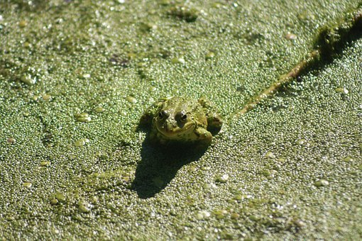 Frog, Animal, Pond, Green, Nature, Amphibian, Toad