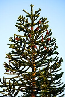 Araucana, Tree, Araucaria, Araucaria Araucana
