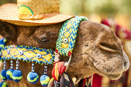 Camel, Tourism, Hat, Cute, Funny, Beautiful, Animal