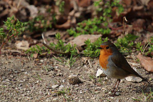 Robin, Birds, Sparrows, Spring, Cute, Garden, Feathers