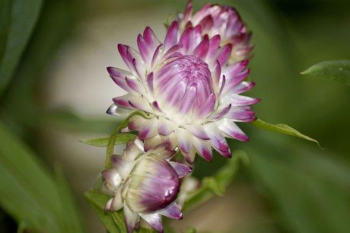 Italicum, Flower, Blossom, Bloom, Dry, Prärieenzan
