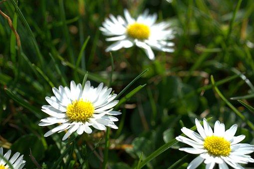 Daisy, Garden, Spring, Easter, Blossom, Bloom, Meadow