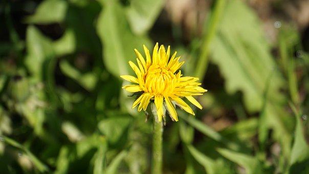 Dandelion, Plant, Yellow, Blossom, Bloom, Flower