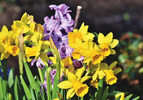 Narcissus, Blossom, Bloom, Yellow, Spring Flower
