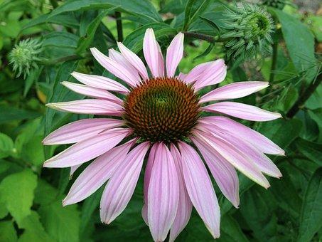 Echinacea, Flower, Coneflower, Nature, Bloom, Blossom