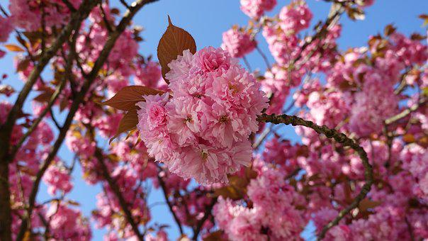 Cherry Blossom, Cherry Tree, Japanese Cherry, Blossom