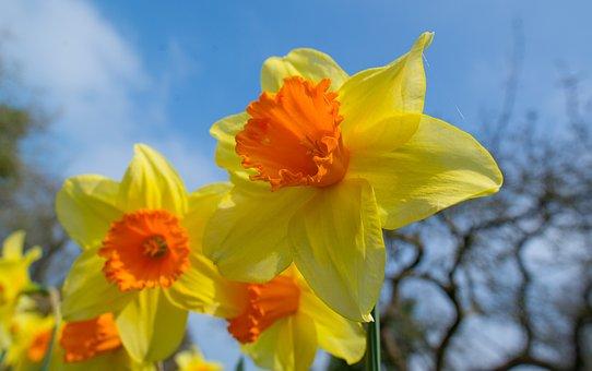 Narcissus, Flower, Bloom, Spring, Blossom, Plant