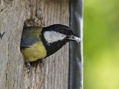 Tit, Bird, Songbird, Small Bird, Bill, Brood Care, Nest