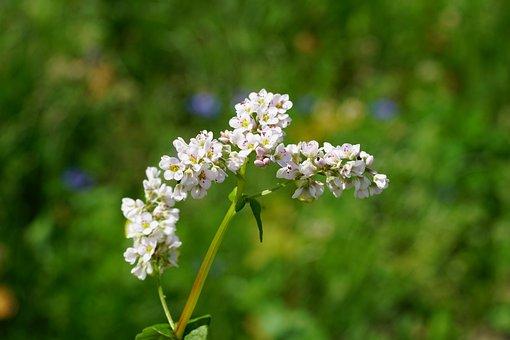 Buckwheat, Flower, Blossom, Bloom, White, Panicle