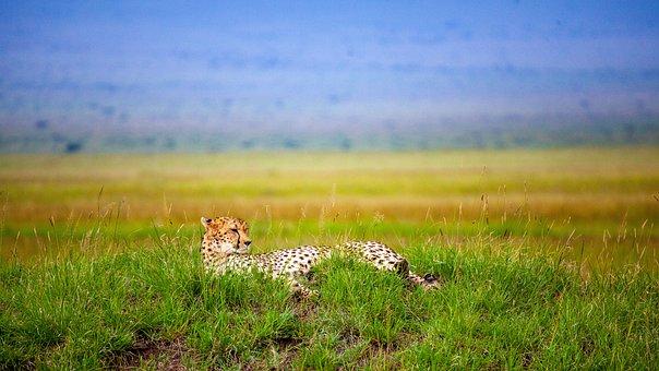 Cheetah, Savannah, Concerns, Kenya, Predator, Nature