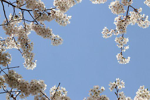 Cherry Blossom, Spring, Flowers, Nature, Wood