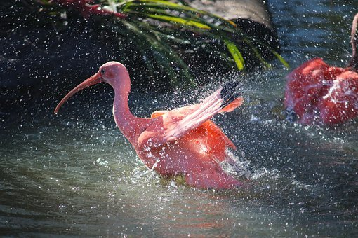 Red, Ibis, Bird, Zoo, Wildlife, Plumage, Nature, Color