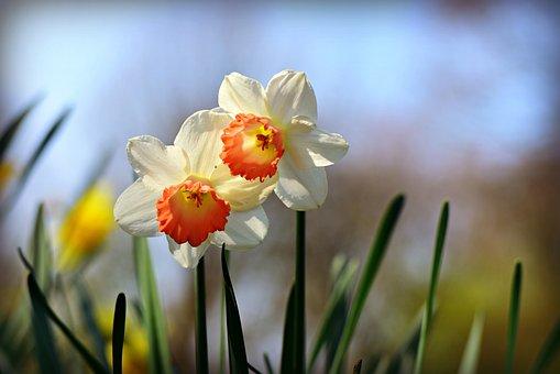 Daffodil, Flower, Plant, Narcissus, Springtime