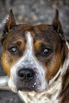 Dog, Staff, Animals, Eyes, Staffordshireterrier, Mammal