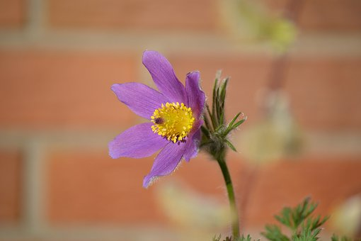 Flower, Pasqueflower, Alpine Flower, Blossom, Bloom
