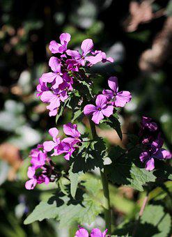 Lunaria, Honesty, Flower, Inflorescence, Purple