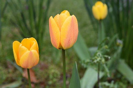 Flower, Tulips, Tulip Yellow, Green Leaves, Garden