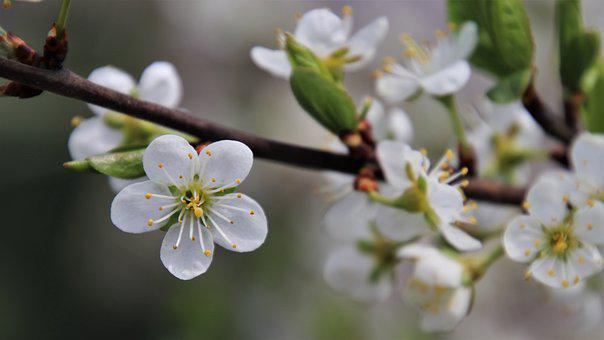 Tree Flowering, Sprig, Garden, April, The Smell Of