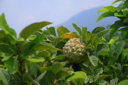 Annona, Fruit, Green, Food, Raw, Natural, Vitamin