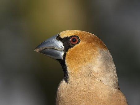 Grosbeak, Fink King, Songbird, Bird, Bill, Close Up