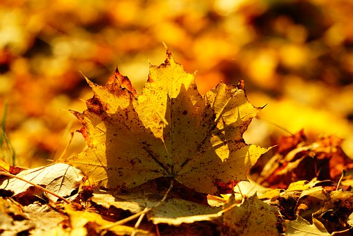 Leaves, Fall Foliage, Maple Leaf, Colorful