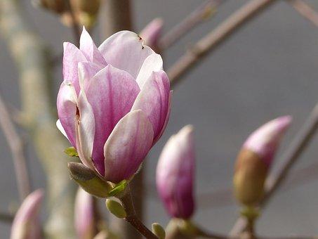 Blossom, Bloom, Magnolia, Spring, Magnolia Blossom