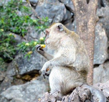 Monkey, Rhesus Monkeys, Primate, Animal World, Nature