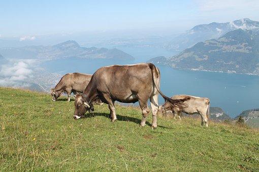 Cow, Switzerland, More, Mountains, Alps, Landscape
