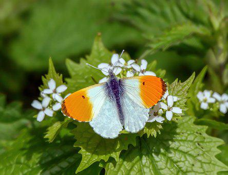 Butterfly, Orange-tip, Nature, Insect, Wildlife, Summer