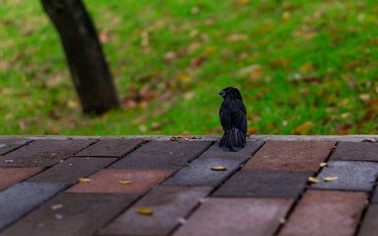 Raven, Ecuador, Manabi, Park, Animal, Bird, Tourism