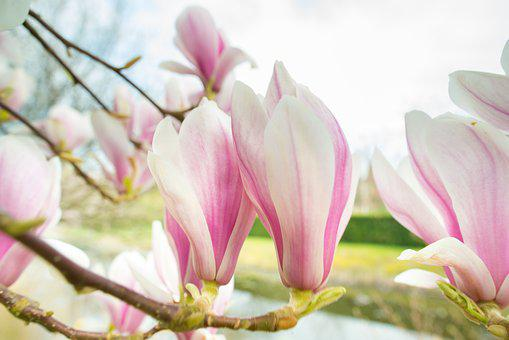 Magnolia, Pink, Spring, Flowers, Bloom, Nature, Plant