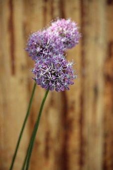 Ornamental Onion, Early, Blossom, Bloom, Plant, Purple