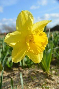 Daffodil, Flower, Petal, Yellow, Plants, Narcissus