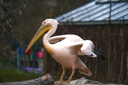 Pelican, Animal, Tier, Zoo, Dresden, Portrait, Wildlife