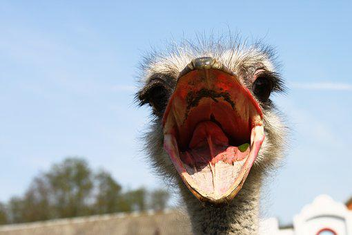 Ostrich, Nervous, Beak, Eyes, Portrait, Bird, Animals