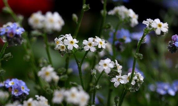 Forget-me-not, Blue, White, Flower, Wet, Rain, Supplies