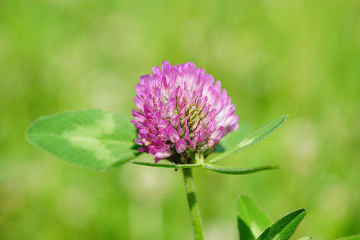 Klee, Red Clover, Pointed Flower, Fodder Plant, Pink