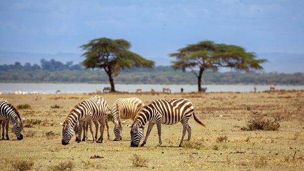 Zebra, Water, Tree, Nature, Africa, Safari