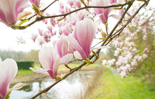 Magnolia, Pink, Spring, Blossom, Flowers, Bloom, Nature