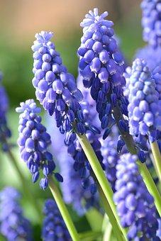 Spring, Muscari, Purple, Flower, Blossom, Bloom