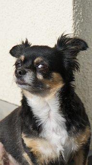 Chihuahua, Dog, Small, Cute, Sweet, Eyes, View, Pet