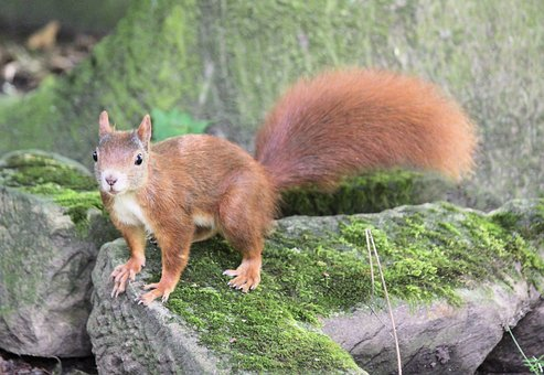 The Squirrel, Rusty, Rodent, Animal, Mammal, Wild