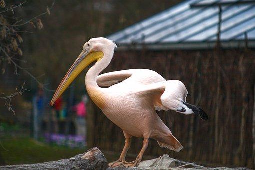 Pelican, Animal, Tier, Zoo, Dresden, Portrait, Wildlife